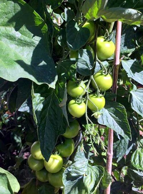 potager-tomates-maison-hote-montpellier-herault